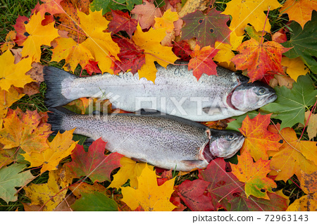 Fresh rainbow trout, Oncorhynchus mykiss among maple leaves in autumn, this fish is a popular game fish and is often implanted in lakes 72963143