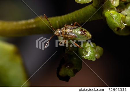 Green True Bugs nymph 72968331