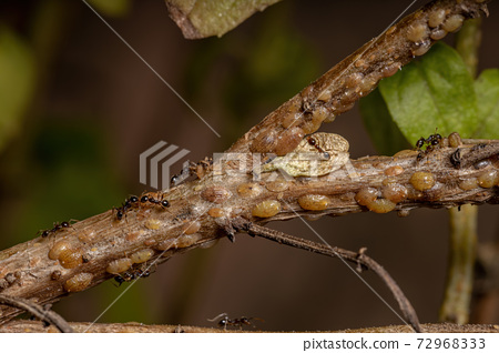 ants in Symbiosis with Tortoise Scales insects 72968333