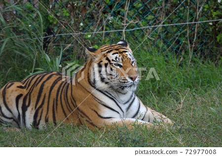 孟加拉虎(Panthera tigris tigris)在台灣野生動物園。 72977008