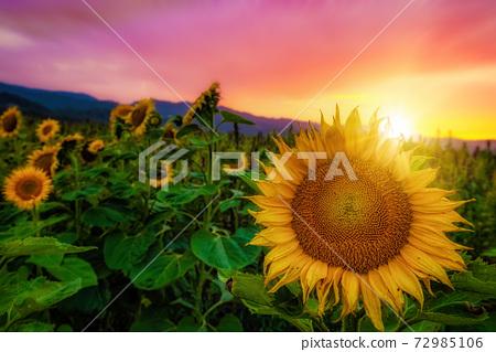 Sunflowers in a Field in Golden Sunlight 72985106