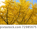 Ginkgo's autumn leaves 72985675