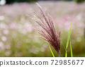 Ears of a Japanese cedar 72985677