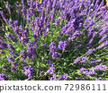 Colored fresh purple Lavender flowers natural background 72986111