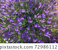 Colored fresh purple Lavender flowers natural background 72986112