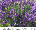 Colored fresh purple Lavender flowers natural background 72986114