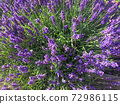 Colored fresh purple Lavender flowers natural background 72986115