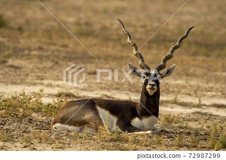 long horned blackbuck or antilope cervicapra or indian antelope closeup resting in green background at tal chhapar sanctuary rajasthan india 72987299