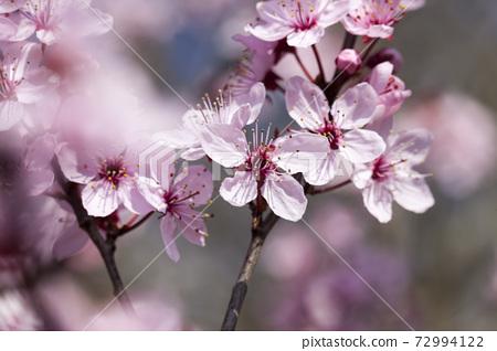 beautiful illuminated by sunlight fresh cherry blossoms 72994122