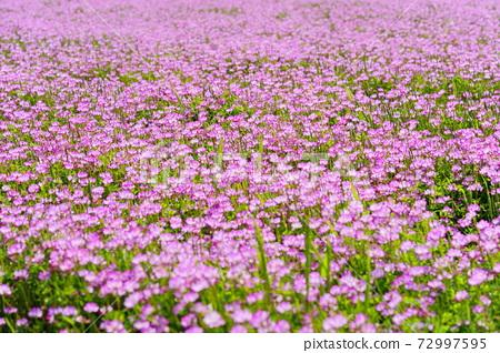 따뜻한 봄 날 연꽃 밭 6 72997595