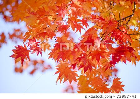 抬頭看著明亮的秋葉(空背) 72997741
