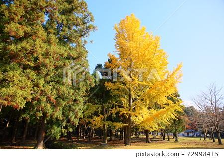 단풍 은행 나무 잎 72998415