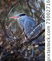 grey heron sleeping on a tree 73002716