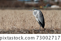 grey heron with open mouth basking in the sun 73002717