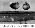 two female ducks resting on a pier 73002784