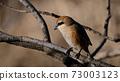 Bull-headed shrike in Japan winter 73003123