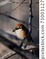 Bull-headed shrike among the branches in Japan winter 73003127