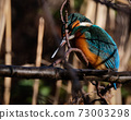 closeup of a beautiful kingfisher looking for prey on a branch in the Japan winter 73003298