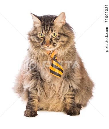 Big cat norvegian is sitting with yellow tie 73005085