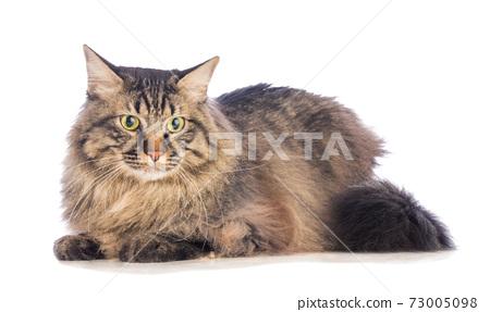 Big cat norvegian, feline with long hair 73005098