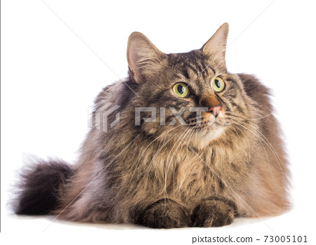 Big cat norvegian, feline with long hair 73005101