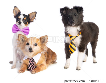Shetland Sheepdog and Chihuahua with tie and bow 73005108