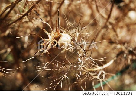 Dried seed of  nigella flower 73011832