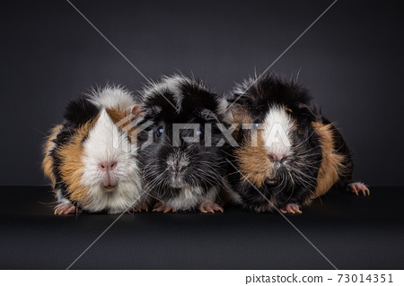 Three multicolored guinea pigs or Cavia, on black background 73014351