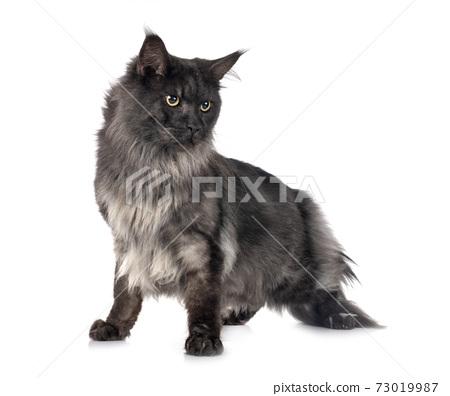 maine coon cat 73019987