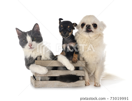 feral cat and chihuahuas 73019991