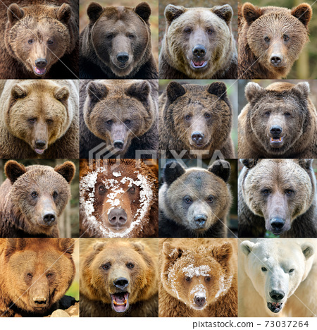 Collage of sixteen photos a Bear portrait 73037264