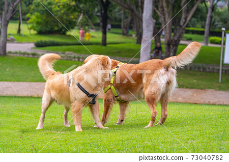 Couple of purebred golden retriever dogs at the park 73040782