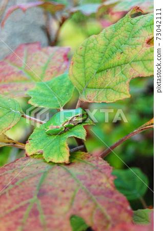 카시와바아지사이 잎에 띄는 청개구리 73042111