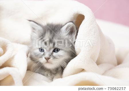 主庫恩小貓裹著毯子 73062257