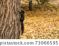Close-up view a brown black squirrel crawling on a tree trunk. Yellow fallen leaves all over the ground in the autumn park. 73066595