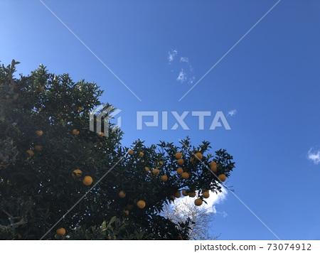 푸른 하늘과 귤 나무 73074912