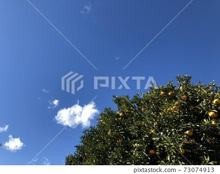 푸른 하늘과 귤 나무 73074913