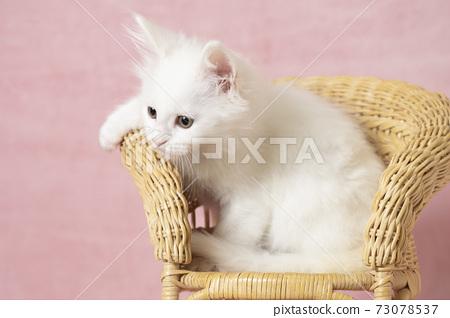主庫恩白色小貓在藤椅上 73078537