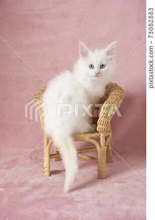 등나무 의자에 올라 뒤돌아 본 메인 쿤 흰색 새끼 고양이 73082883