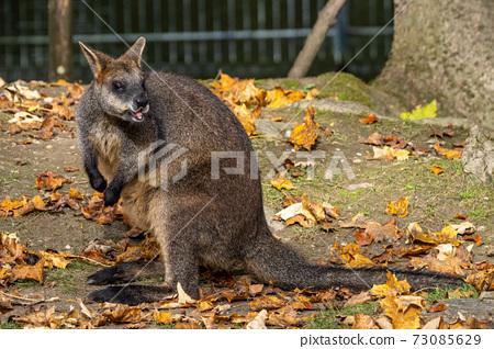 Red kangaroo, Macropus rufus in a german park 73085629