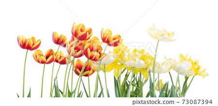 鬱金香 白底 母親節 情人節 Tulip white background チューリップ 73087394