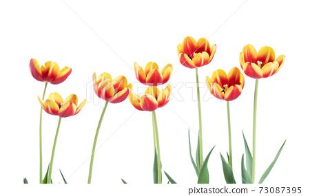 郁金香 白底 母亲节 情人节 Tulip white background チューリップ 73087395