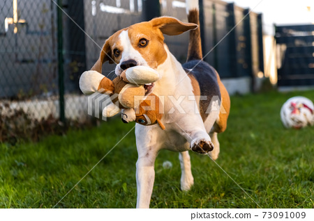 Dog runs fast with a plush toy in its mouth towards camera. 73091009