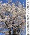 Landscape of cherry trees 73096437