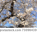 Landscape of cherry trees 73096439