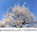 Landscape of cherry trees 73096440
