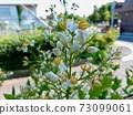 남천 꽃 2 73099061
