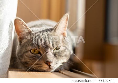 貓貓貓Kijitora白色灰色小貓女女女貓女貓女貓開朗可愛治愈 73102411
