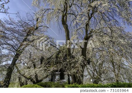 나가노 현 安養寺의 鍾塔과 수양 벚나무 73103964