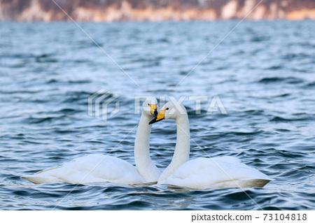 天鵝Kussharo天鵝天鵝 73104818